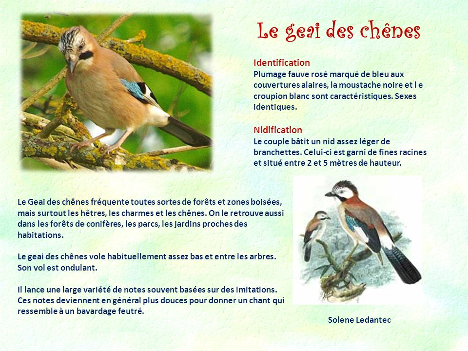Le geai des chênes Identification Nidification