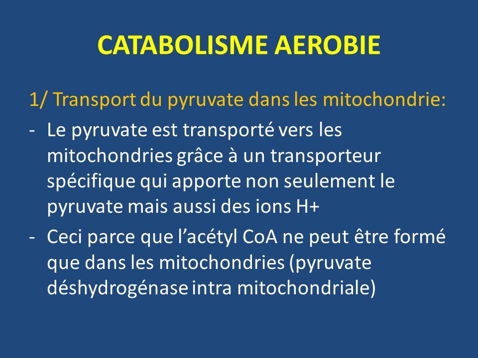CATABOLISME AEROBIE 1/ Transport du pyruvate dans les mitochondrie: