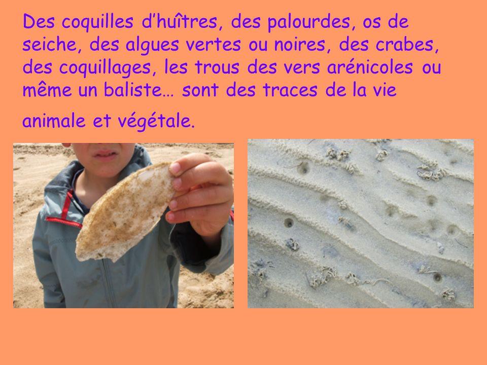 Des coquilles d'huîtres, des palourdes, os de seiche, des algues vertes ou noires, des crabes, des coquillages, les trous des vers arénicoles ou même un baliste… sont des traces de la vie animale et végétale.