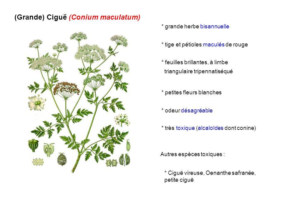 (Grande) Ciguë (Conium maculatum)