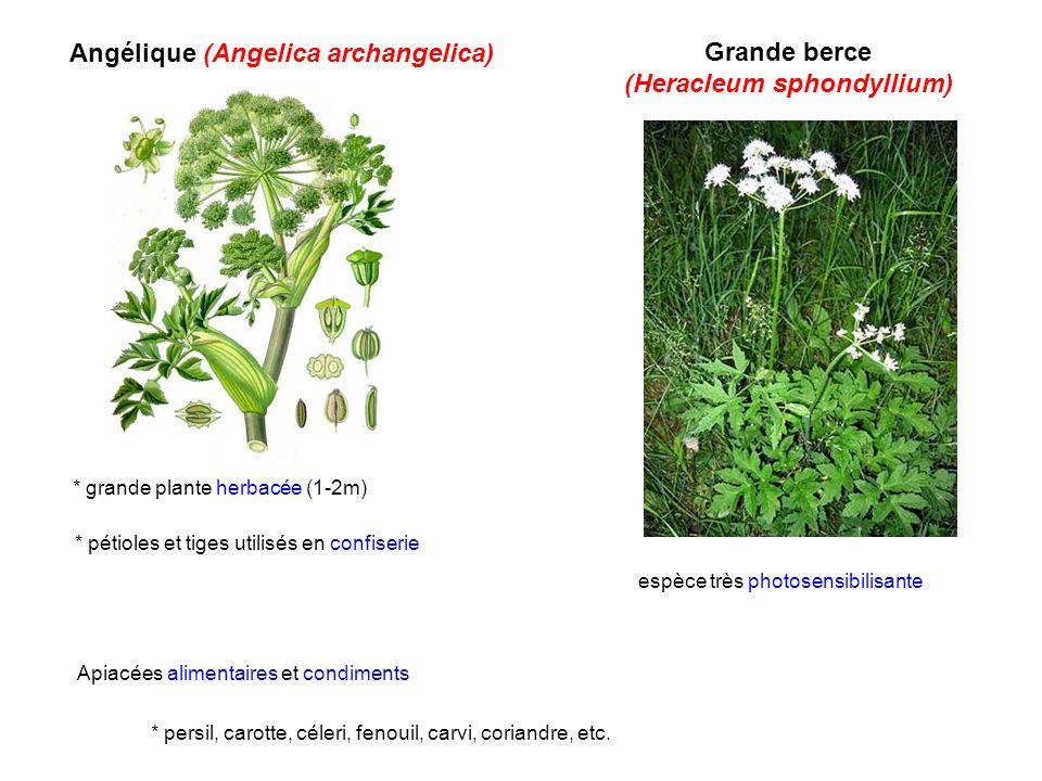 (Heracleum sphondyllium)