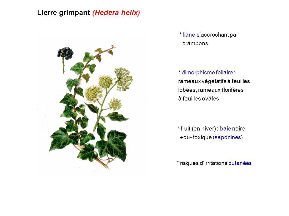 Lierre grimpant (Hedera helix)