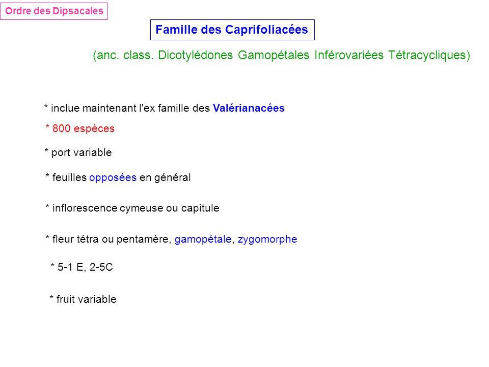 Famille des Caprifoliacées