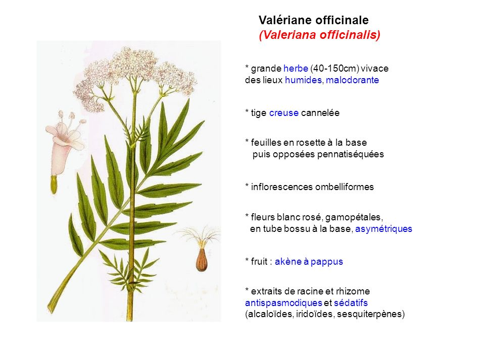 (Valeriana officinalis)