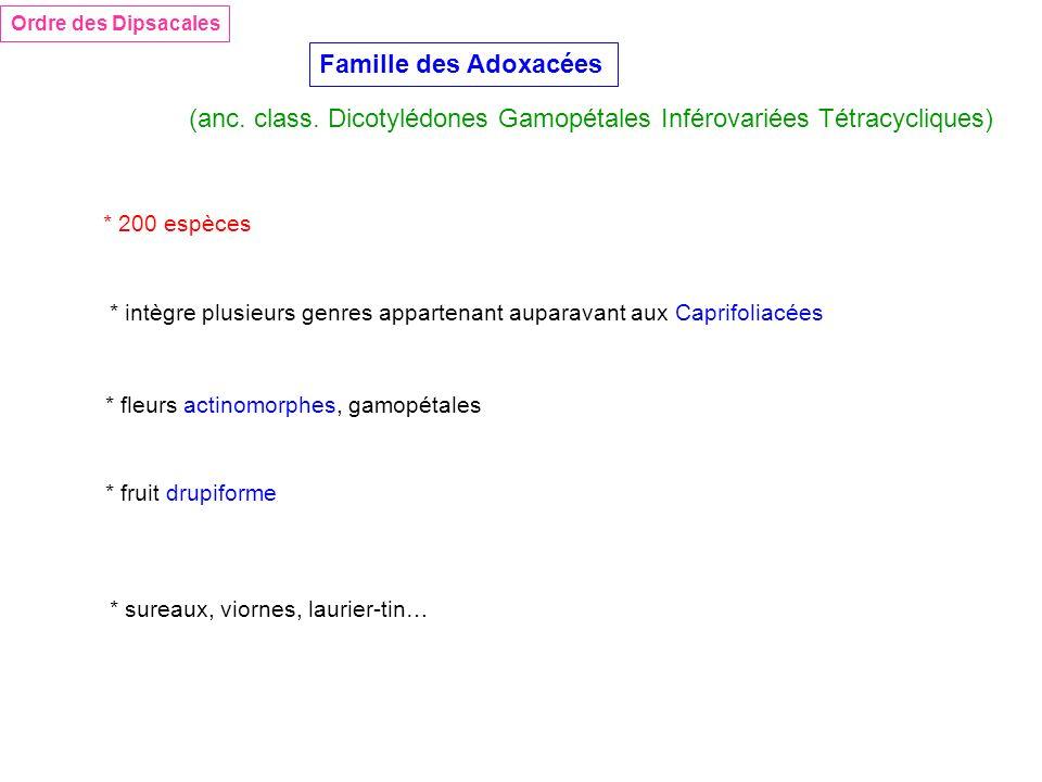 (anc. class. Dicotylédones Gamopétales Inférovariées Tétracycliques)