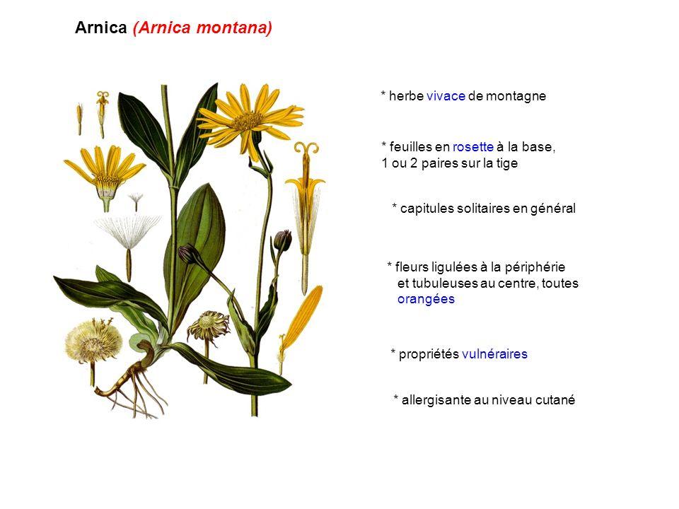 Arnica (Arnica montana)