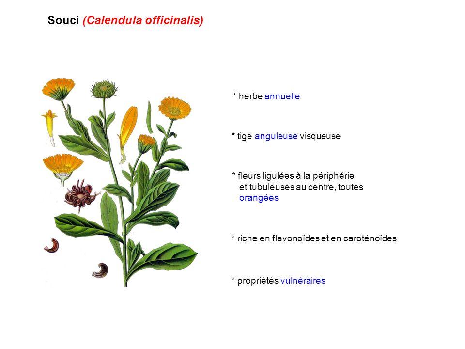 Souci (Calendula officinalis)