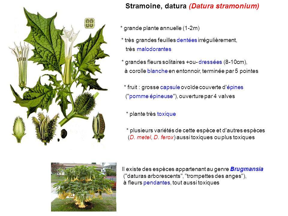 Stramoine, datura (Datura stramonium)