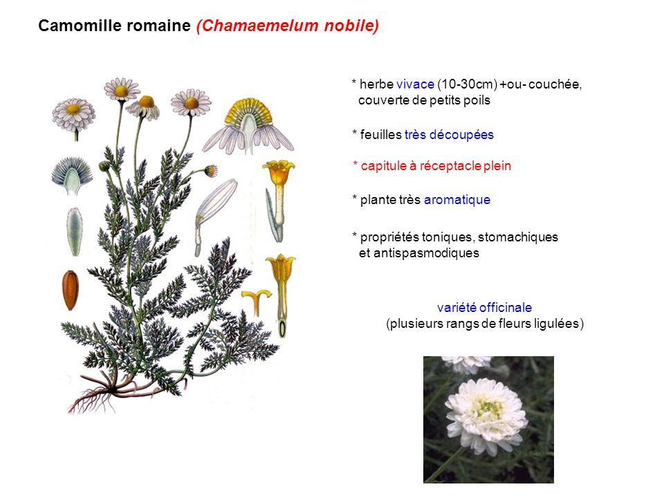 (plusieurs rangs de fleurs ligulées)