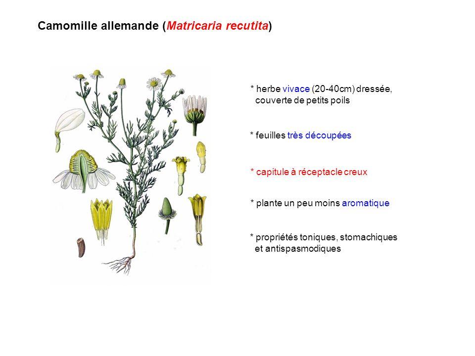 Camomille allemande (Matricaria recutita)