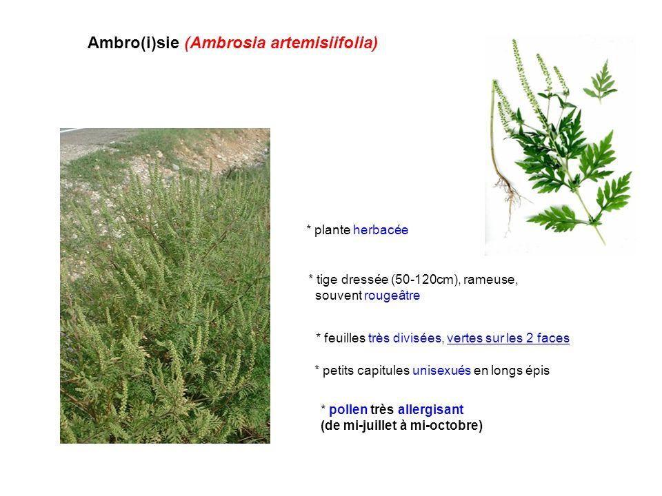 Ambro(i)sie (Ambrosia artemisiifolia)