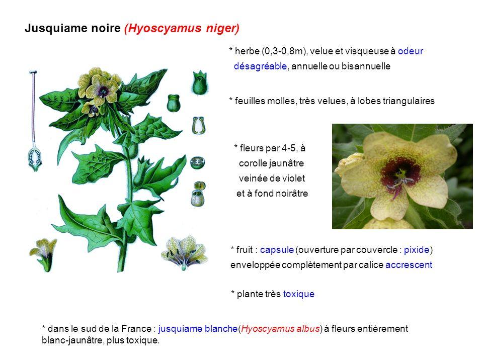 Jusquiame noire (Hyoscyamus niger)