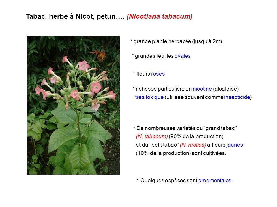 Tabac, herbe à Nicot, petun…. (Nicotiana tabacum)