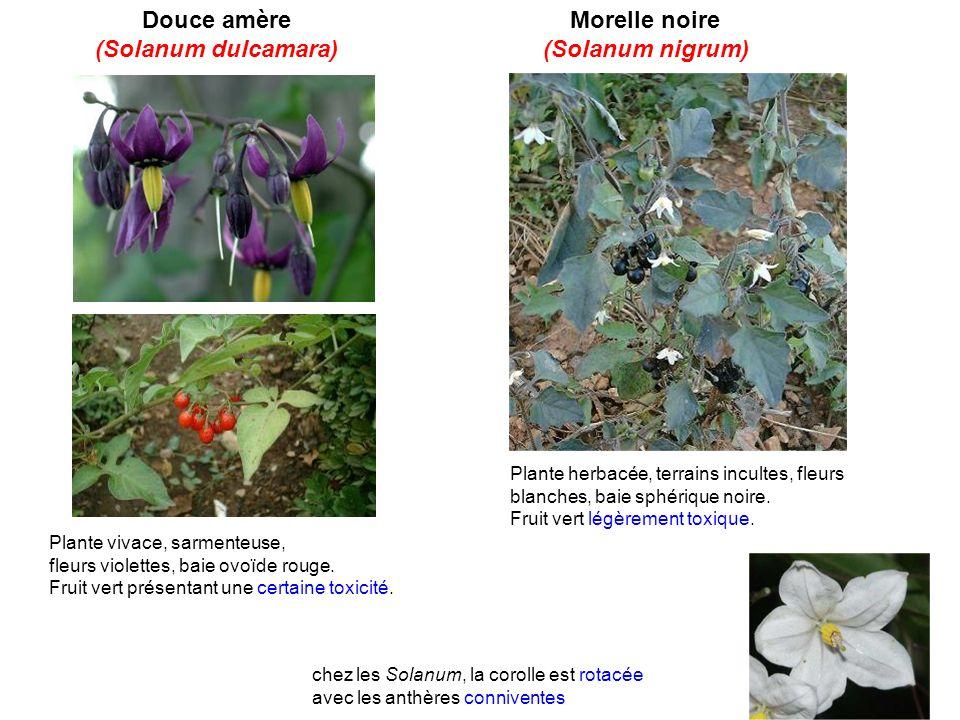 Douce amère (Solanum dulcamara) Morelle noire (Solanum nigrum)