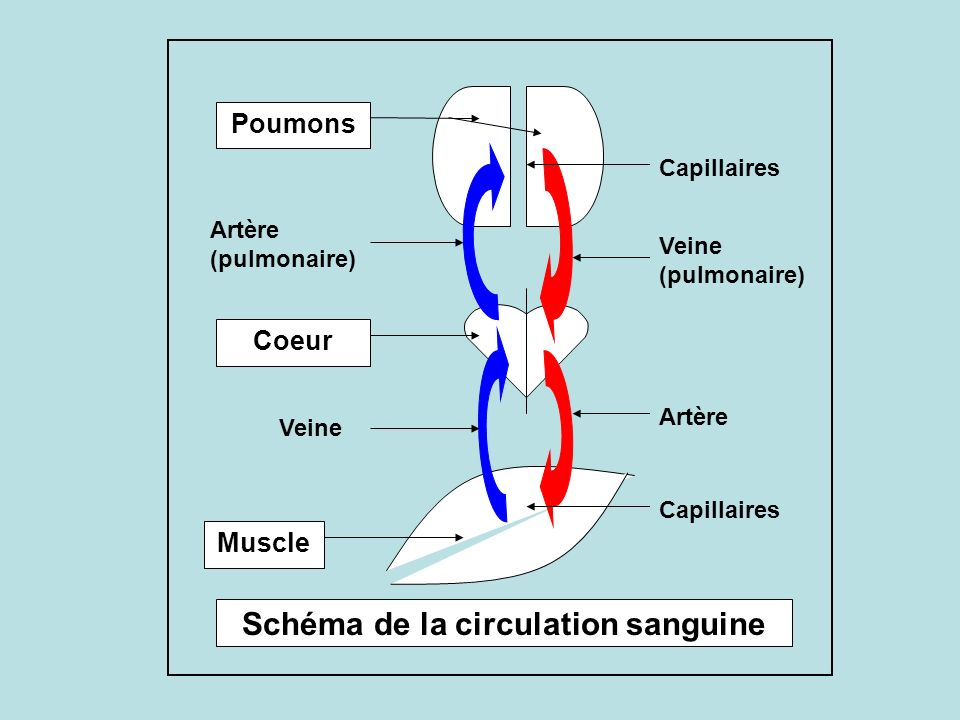 Schéma de la circulation sanguine