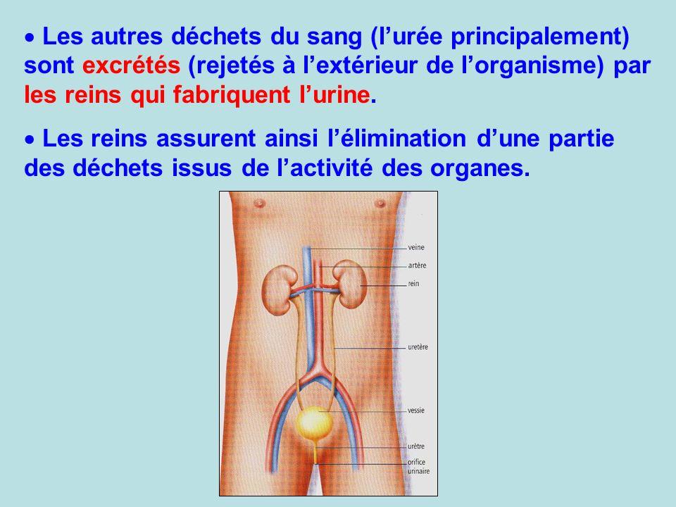 Les autres déchets du sang (l'urée principalement) sont excrétés (rejetés à l'extérieur de l'organisme) par les reins qui fabriquent l'urine.