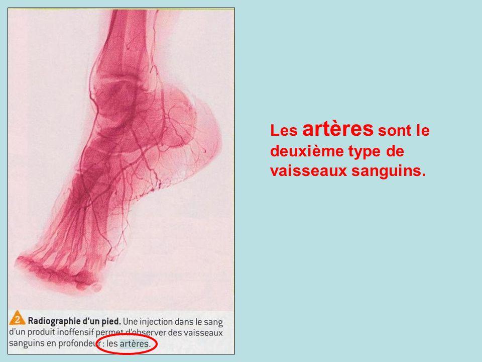Les artères sont le deuxième type de vaisseaux sanguins.