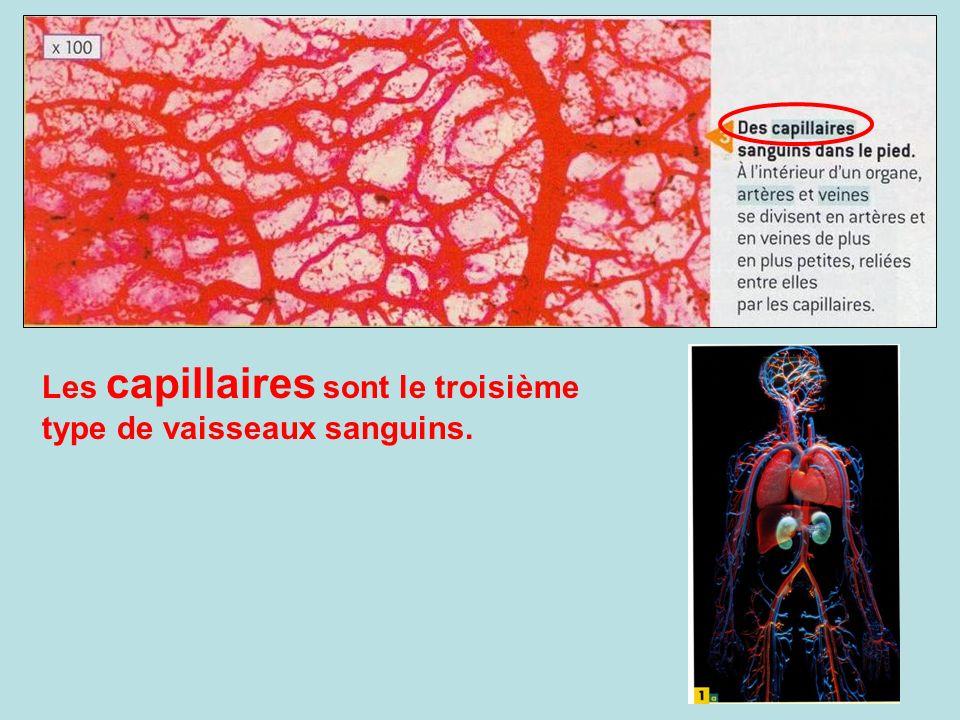 Les capillaires sont le troisième type de vaisseaux sanguins.