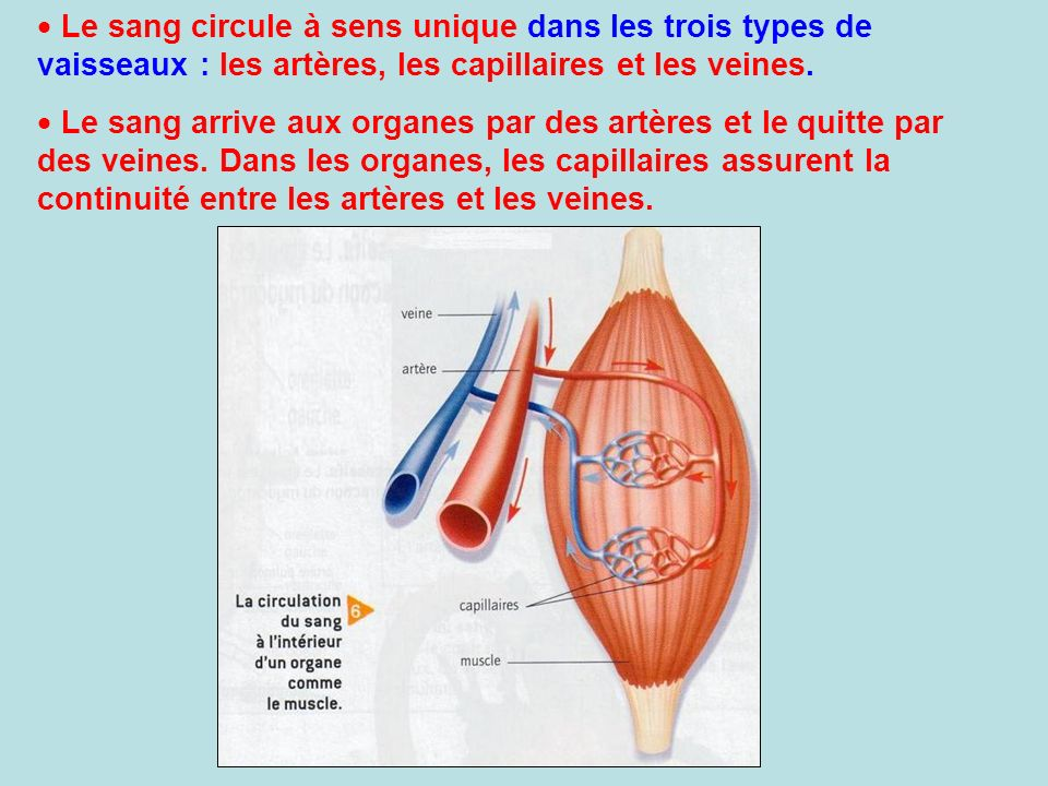 La circulation sanguine ppt video online t l charger - Peut on mourir en se coupant les veines ...