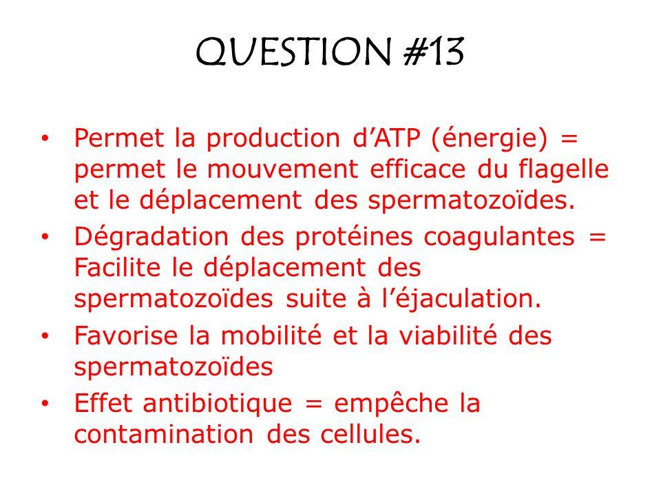 QUESTION #13 Permet la production d'ATP (énergie) = permet le mouvement efficace du flagelle et le déplacement des spermatozoïdes.