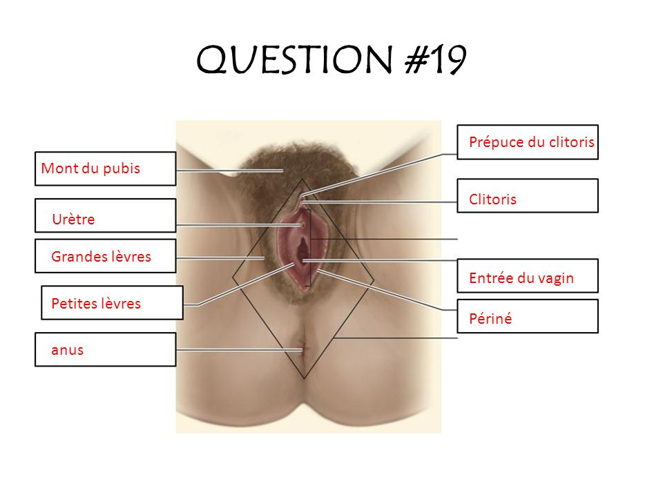 QUESTION #19 Prépuce du clitoris Mont du pubis Clitoris Urètre