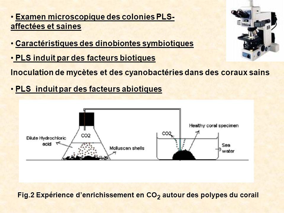 Examen microscopique des colonies PLS-affectées et saines