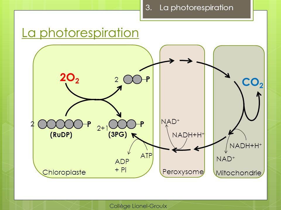 La photorespiration 2O2 CO2 La photorespiration P P P 2 NAD+ 2 2+1