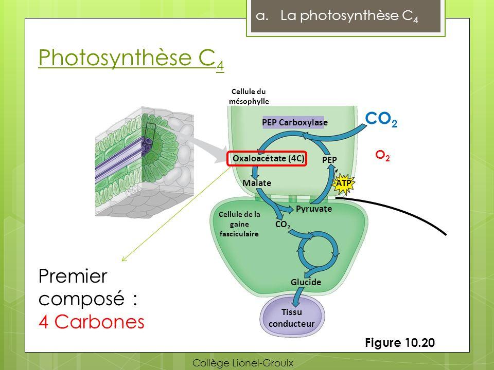 Photosynthèse C4 Premier composé : 4 Carbones CO2 La photosynthèse C4