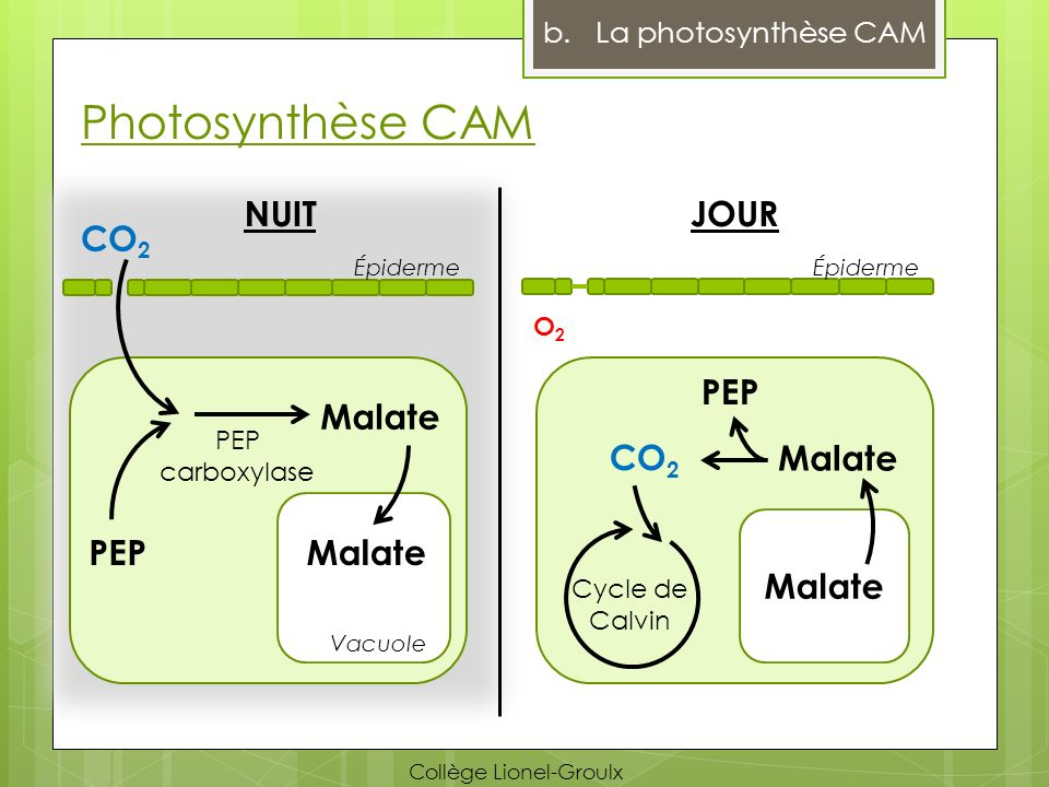 Photosynthèse CAM NUIT JOUR CO2 PEP Malate CO2 Malate PEP Malate
