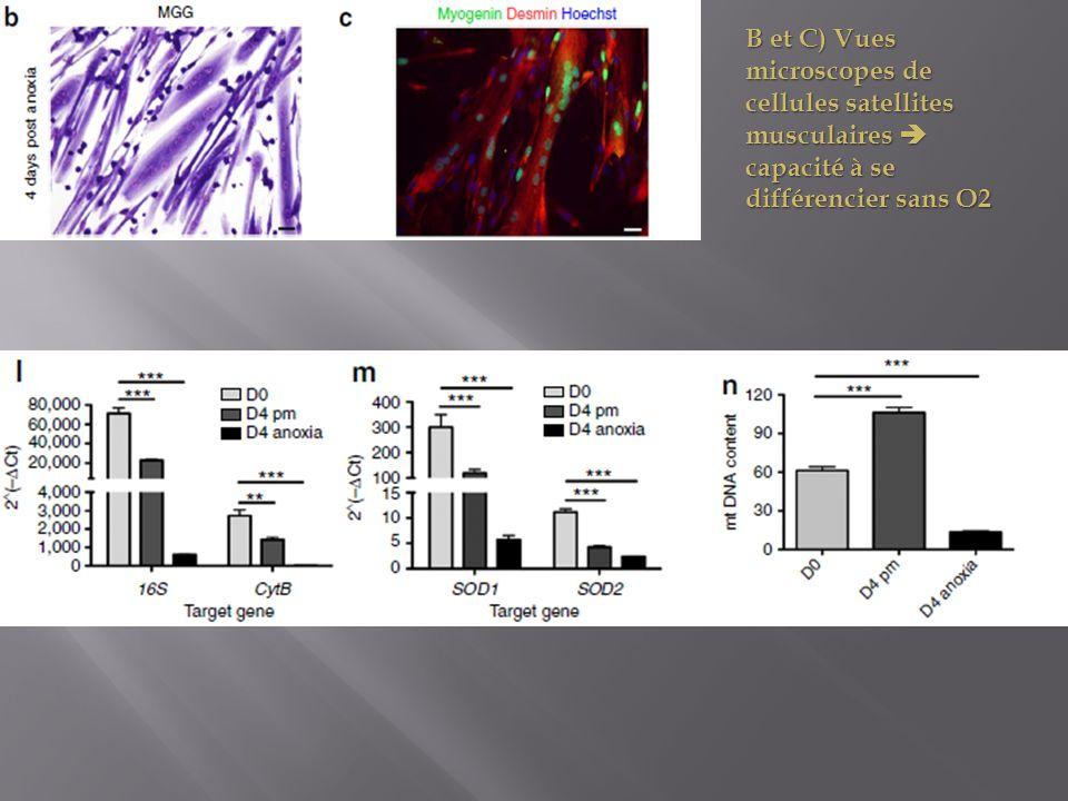 B et C) Vues microscopes de cellules satellites musculaires  capacité à se différencier sans O2