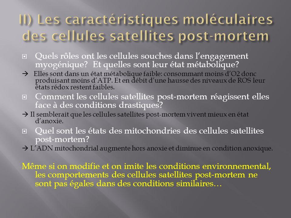 II) Les caractéristiques moléculaires des cellules satellites post-mortem