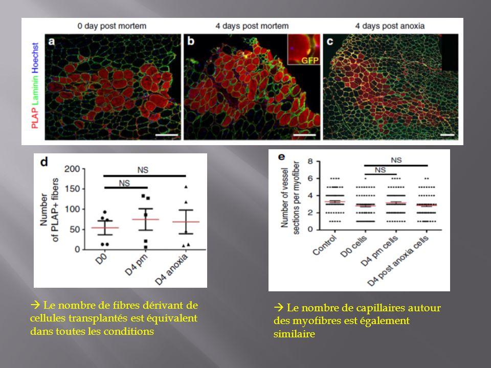  Le nombre de fibres dérivant de cellules transplantés est équivalent dans toutes les conditions