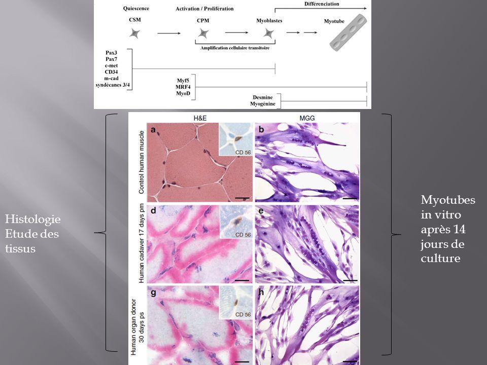 Myotubes in vitro après 14 jours de culture