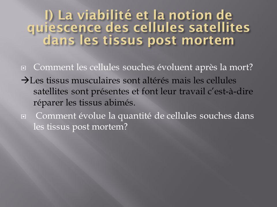 I) La viabilité et la notion de quiescence des cellules satellites dans les tissus post mortem