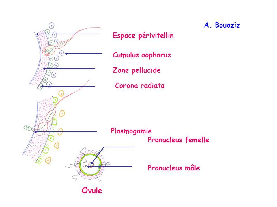 Ovule A. Bouaziz Espace périvitellin Cumulus oophorus Zone pellucide