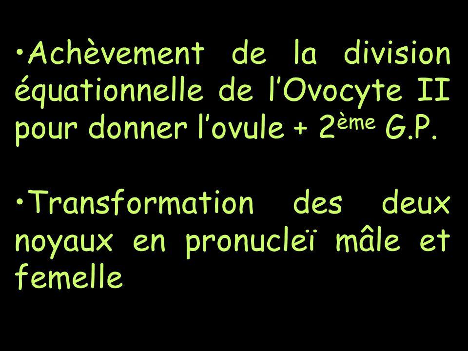 Achèvement de la division équationnelle de l'Ovocyte II pour donner l'ovule + 2ème G.P.