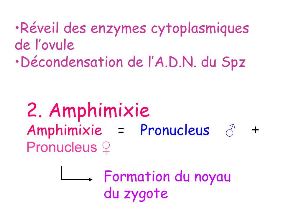 2. Amphimixie Réveil des enzymes cytoplasmiques de l'ovule