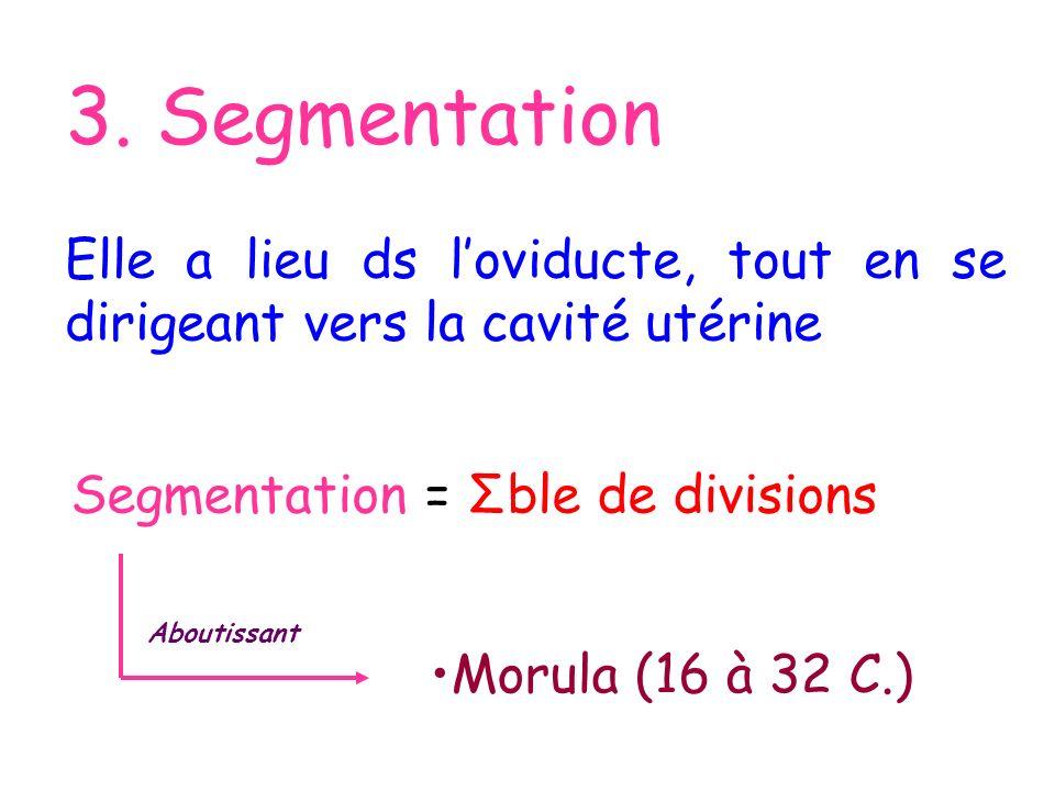 3. Segmentation Elle a lieu ds l'oviducte, tout en se dirigeant vers la cavité utérine. Segmentation = Σble de divisions.
