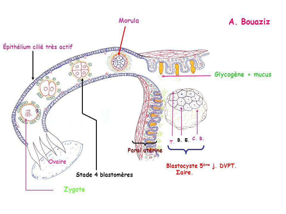 A. Bouaziz Glycogène + mucus Zygote Épithélium cilié très actif