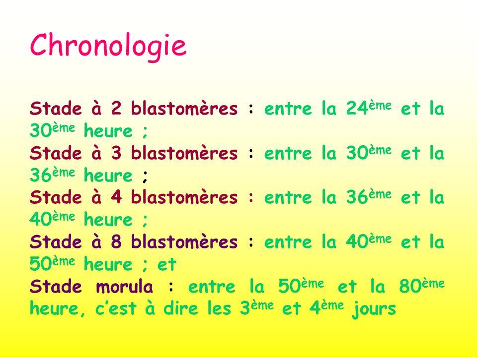 Chronologie Stade à 2 blastomères : entre la 24ème et la 30ème heure ;