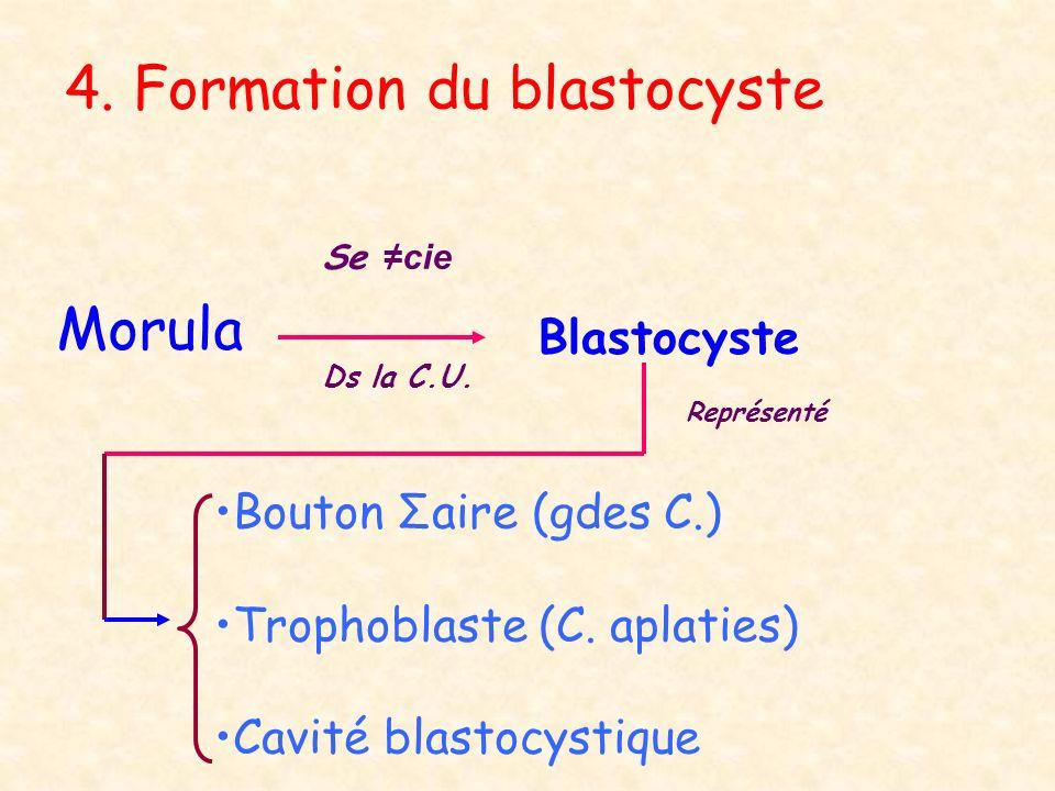 4. Formation du blastocyste