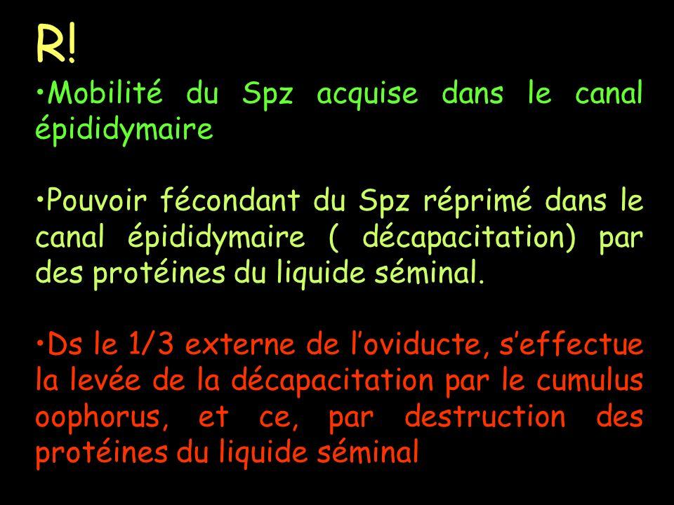 R! Mobilité du Spz acquise dans le canal épididymaire