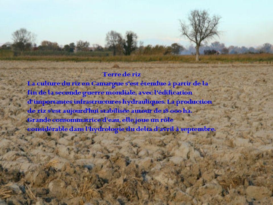 Terre de riz La culture du riz en Camargue s est étendue à partir de la. fin de la seconde guerre mondiale, avec l édification.