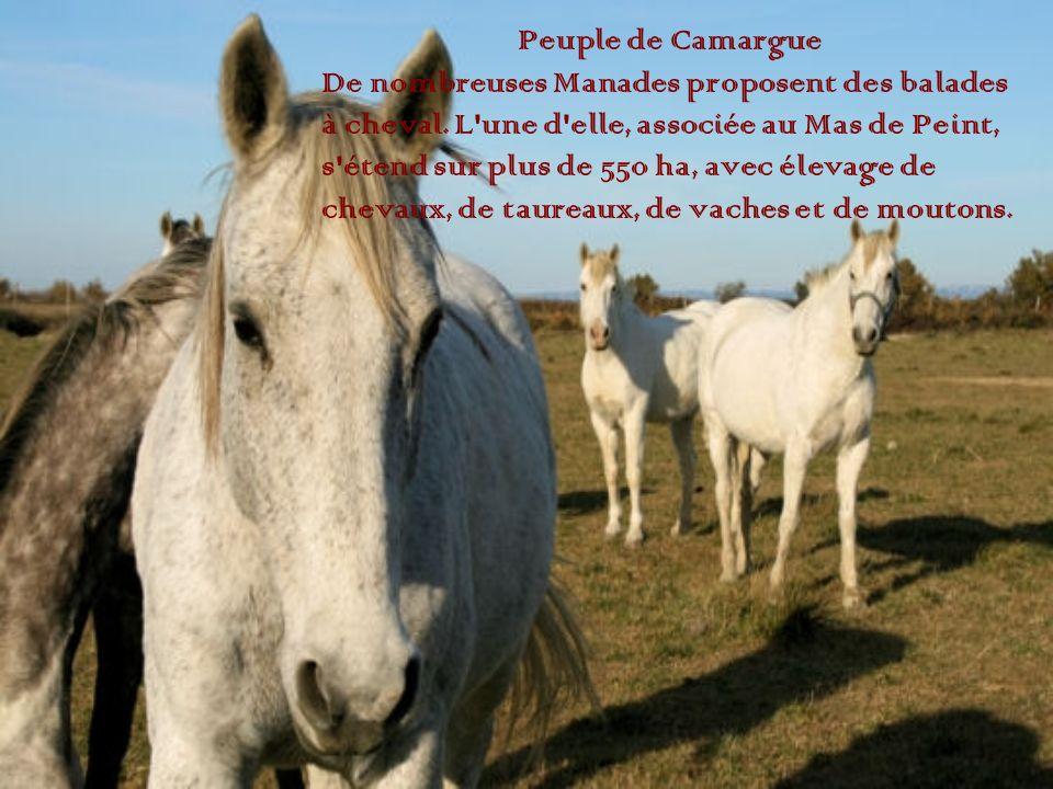 Peuple de Camargue De nombreuses Manades proposent des balades. à cheval. L une d elle, associée au Mas de Peint,