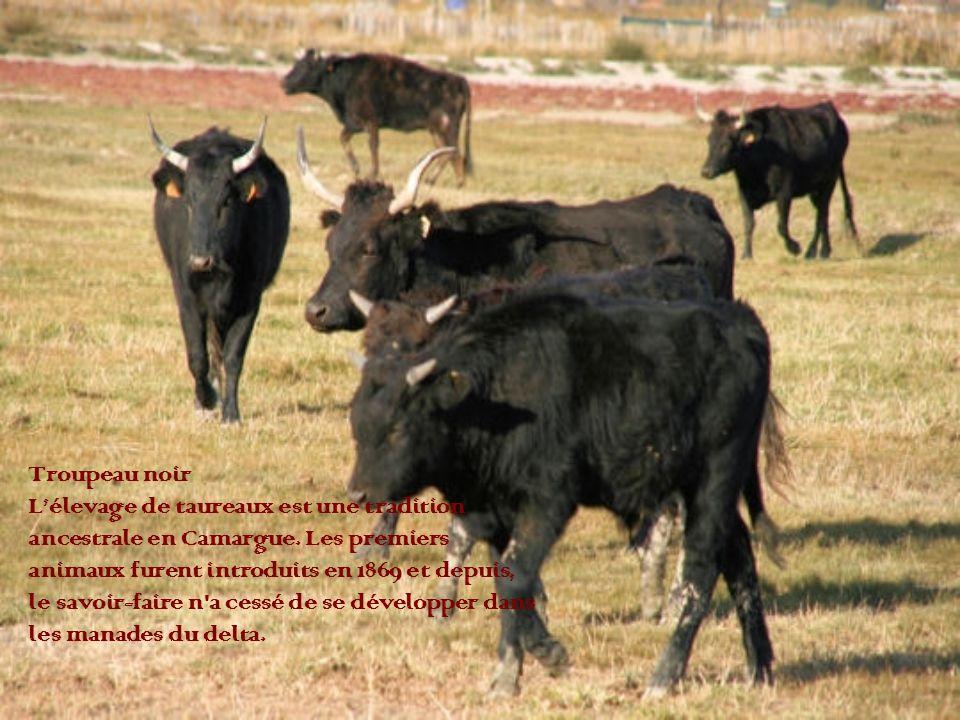 Troupeau noir L'élevage de taureaux est une tradition. ancestrale en Camargue. Les premiers. animaux furent introduits en 1869 et depuis,