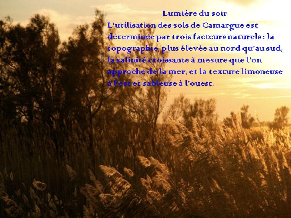 Lumière du soir L'utilisation des sols de Camargue est. déterminée par trois facteurs naturels : la.