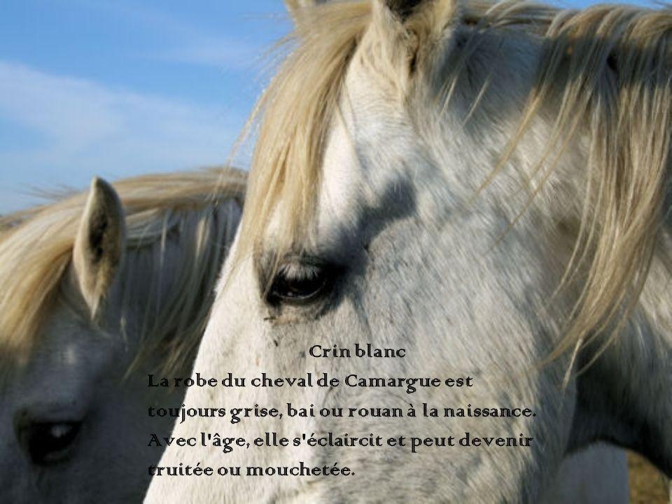 Crin blanc La robe du cheval de Camargue est. toujours grise, bai ou rouan à la naissance. Avec l âge, elle s éclaircit et peut devenir.