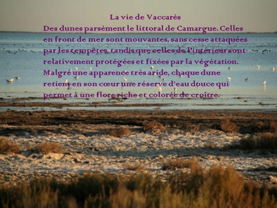 La vie de Vaccarès Des dunes parsèment le littoral de Camargue. Celles. en front de mer sont mouvantes, sans cesse attaquées.