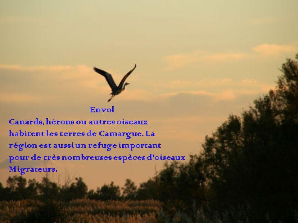 Envol Canards, hérons ou autres oiseaux. habitent les terres de Camargue. La. région est aussi un refuge important.