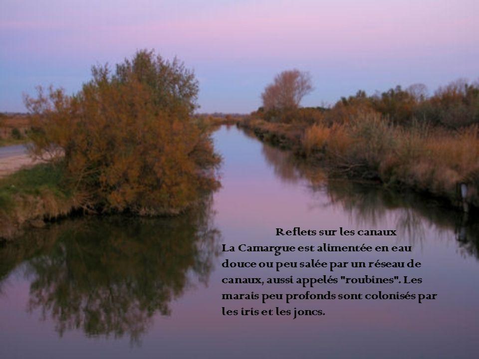 Reflets sur les canaux La Camargue est alimentée en eau. douce ou peu salée par un réseau de. canaux, aussi appelés roubines . Les.